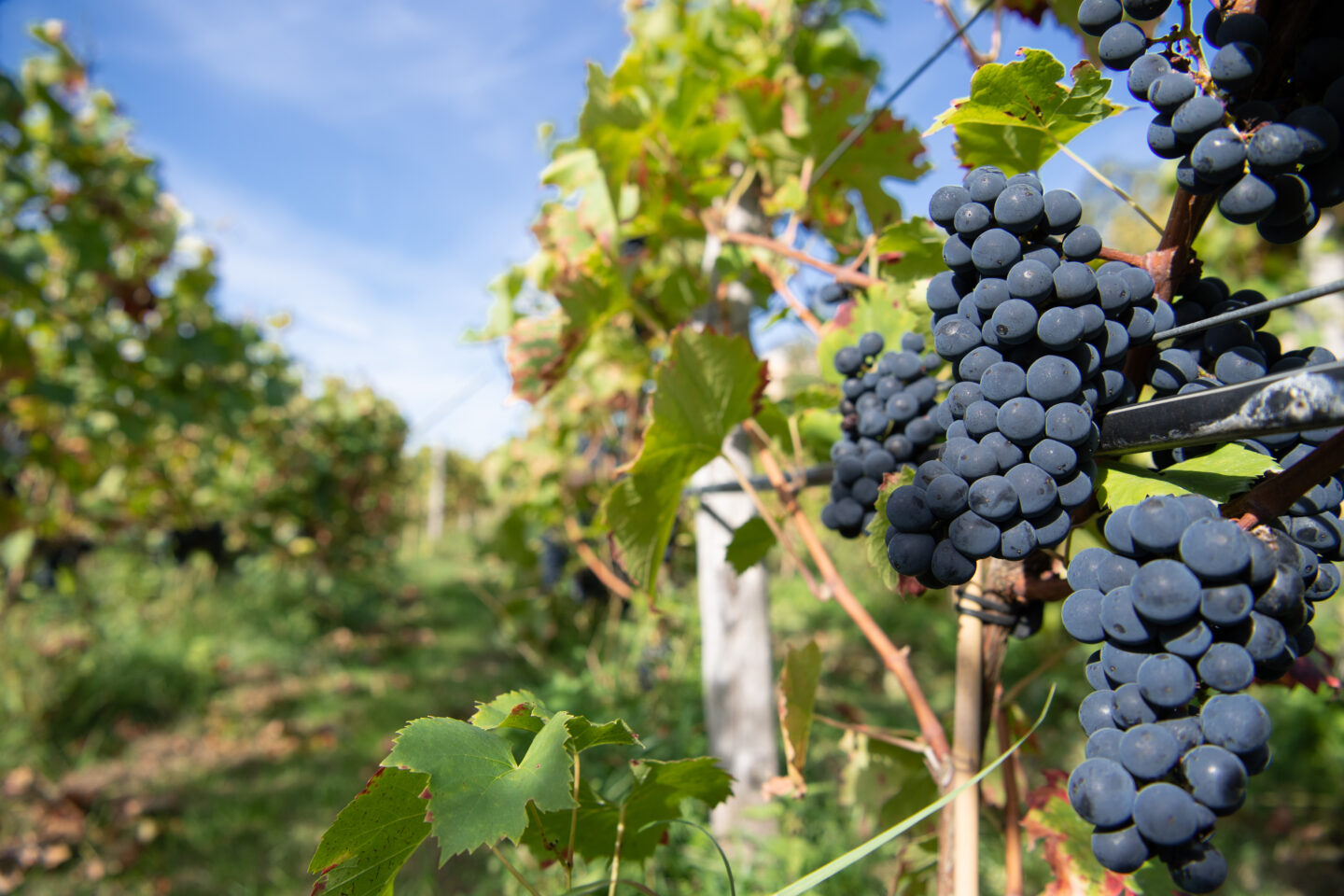 Are Piwi Grapes The Future Of Winemaking?